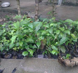 Hướng dẫn trồng cây xạ đen