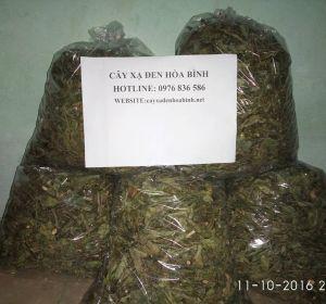 Mua bán cây xạ đen tại Nam Định